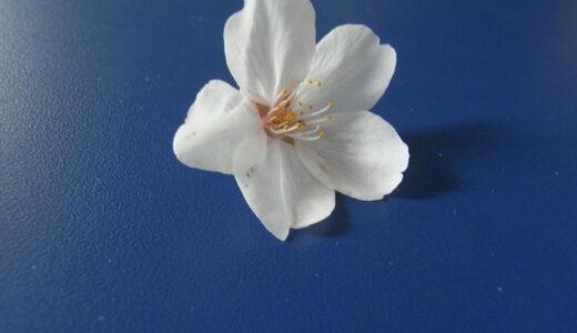 桜の季節になりましたね